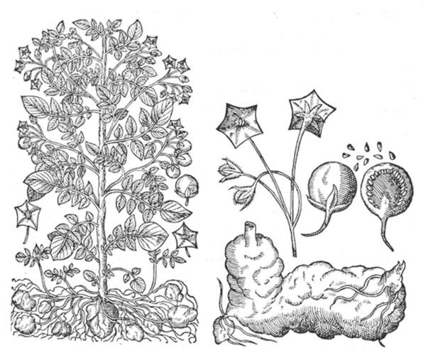 kartoffelplante wikimedia commons Gaspard Bauhin 1591