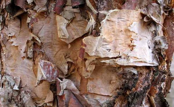 River birch bark  Sue Sweeney 2005  Wikimedia Commons